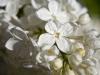 Weißer Flieder